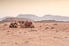 Верблюды в пустыне стоковое фото