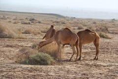 Верблюды в пустыне Стоковые Фото