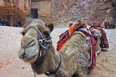 Верблюды в Petra. Стоковая Фотография