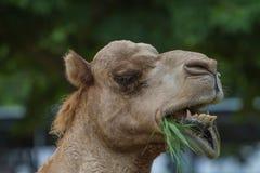 Верблюды едят сено на ферме верблюда Стоковое Изображение
