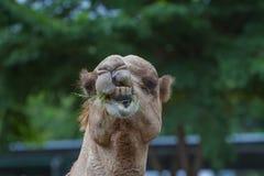 Верблюды едят сено на ферме верблюда Стоковое Изображение RF