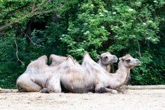 Верблюды имея остатки сидя на земле стоковое изображение