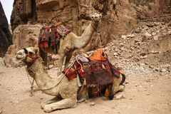 Верблюды используемые для того чтобы транспортировать туристов в древнем городе Petra, стоковые изображения rf