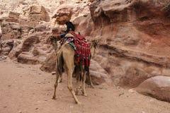 Верблюды используемые для того чтобы транспортировать туристов в древнем городе Petra, Джордане стоковое фото