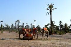 верблюды караван Караван верблюда отдыхает перед быть посланным на длинном путешествии Стоковое Изображение