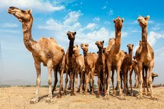 Верблюды на верблюде справедливом, Индии Pushkar Mela Pushkar стоковые фото