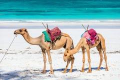 Верблюды на тропическом пляже в Кении стоковые фотографии rf