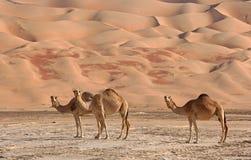 верблюды опорожняют четверть Стоковые Изображения RF