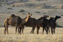 верблюды пася Стоковые Фотографии RF