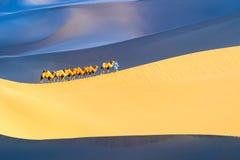 Верблюды пустыни объединяются в команду стоковые изображения rf