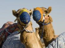 верблюды счастливые Стоковые Фотографии RF