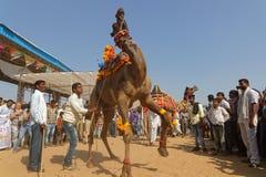 Верблюды танцуют для Pushkar справедливо Стоковая Фотография RF