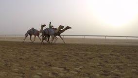 Верблюды участвуя в гонке в пустыне сток-видео