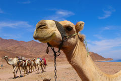 верблюды Стоковые Фото