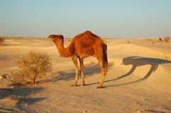 верблюды Стоковые Изображения RF