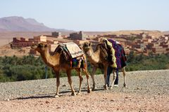 верблюды Стоковые Фотографии RF