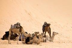 верблюды Стоковая Фотография