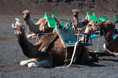 верблюды lanzarote Стоковые Изображения RF