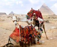 верблюд бедуина около остальных пирамидок Стоковая Фотография