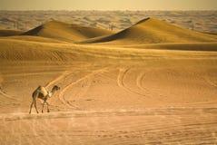 Верблюд в большом красном цвете Стоковое фото RF