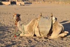 Верблюд в пустыне под солнцем Стоковая Фотография RF