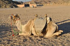 Верблюд в пустыне под солнцем Стоковое Фото