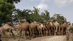 Верблюд в Kachchh - видео акции видеоматериалы