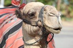 Верблюд дромадера на улице около Иерихона Стоковое Изображение