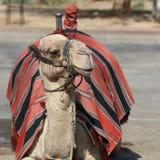 Верблюд дромадера на улице около Иерихона Стоковое фото RF