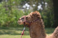Верблюд дромадера с Halter и руководством Стоковые Изображения