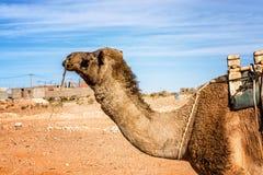 Верблюд дромадера Стоковое Фото