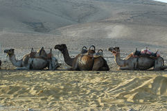 Верблюд (дромадер) Стоковое Изображение RF