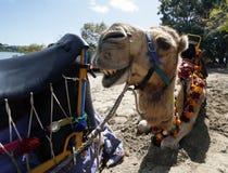 верблюд его показывая зубы Стоковые Изображения RF