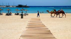 Верблюд едет в Caleta de Fuste, Фуэртевентуре, Испании стоковые фото