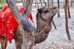 Верблюд ждет его предпринимателя в Агре, Индии стоковое фото