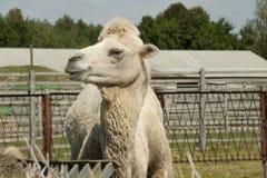 Верблюд жует сено Стоковые Фото