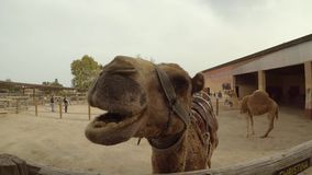 Верблюд жуя handheld съемку акции видеоматериалы