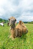 Верблюд идя в поле стоковая фотография rf
