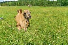 Верблюд идя в поле стоковая фотография
