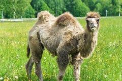 Верблюд идя в поле стоковое изображение