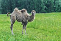 Верблюд идя в поле стоковые фотографии rf