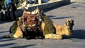 Верблюд Иерусалима для touristic езды сток-видео