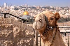 Верблюд Иерусалим Израиль стоковые фото