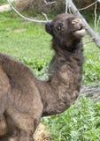 верблюд младенца стоковая фотография