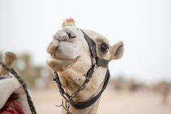 Верблюд намордника в Sharm El Sheikh, Египте Животное в пустыне стоковые фотографии rf