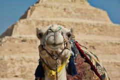 Верблюд на пирамиде шага Саккары стоковое изображение