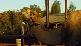 Верблюд на ферме верблюда Стоковое Изображение RF
