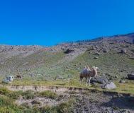 Верблюд при коровы пася Стоковое Изображение RF
