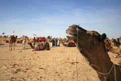 верблюд справедливо pushkar Стоковые Изображения RF