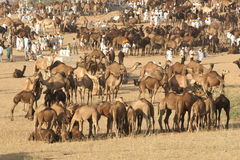 верблюд справедливо pushkar Стоковая Фотография